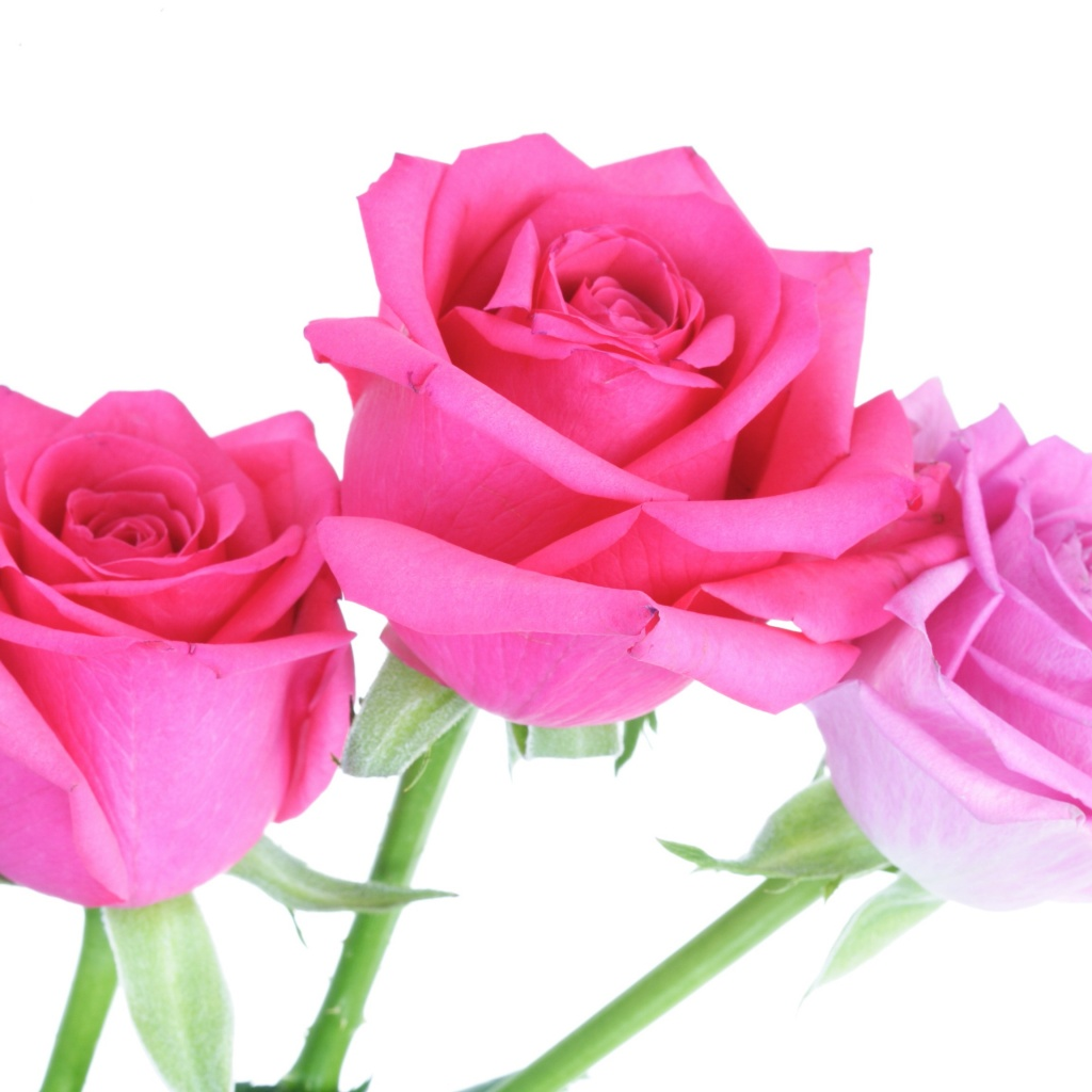 Rose for forgiveness energy healing